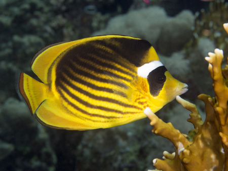 red sea: Diagonal butterflyfish in Red sea, Egypt