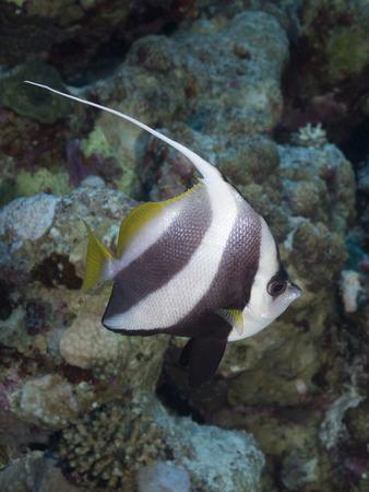 bannerfish: Schooling butterflyfish in red sea
