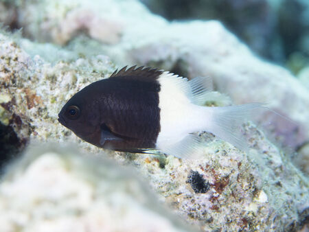 damselfish: Chocolatedip chromis in Red sea, Stock Photo