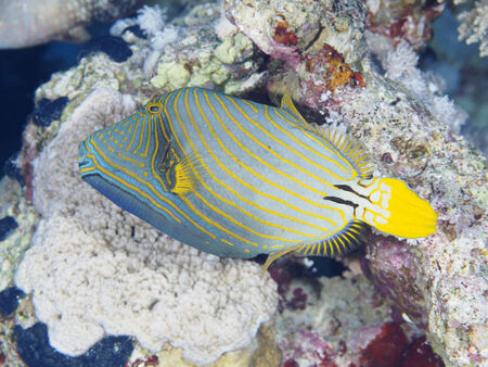 triggerfish: Orange-stripped triggerfish in red sea Stock Photo