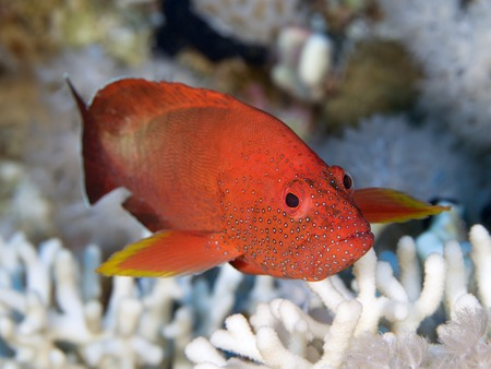 Halfspotted hind in Red sea, Egypt