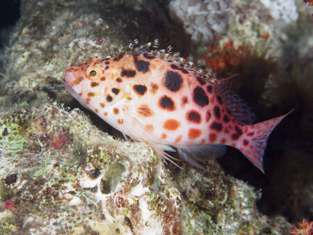 pixie: Pixie hawkfish in red sea Stock Photo