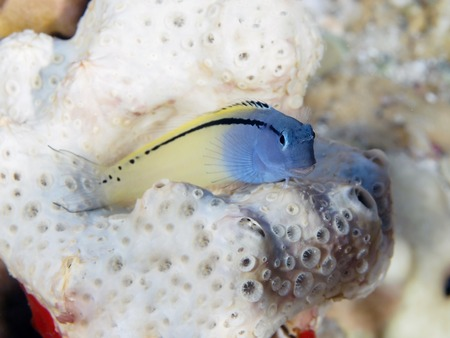 red sea: Red Sea mimic blenny in Red sea, Egypt Stock Photo