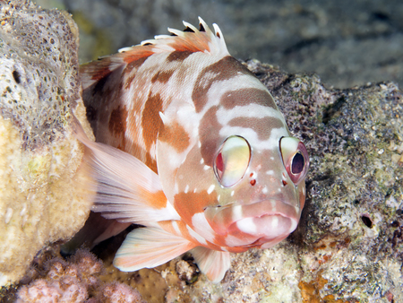 epinephelus: Blacktip grouper in Red sea, Egypt