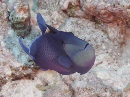 red sea: Redtooth triggerfish in red sea