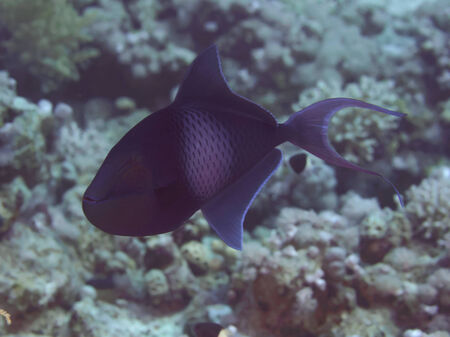 triggerfish: Redtooth triggerfish in red sea