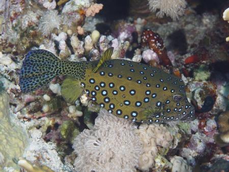 boxfish: Yellow Boxfish in red sea