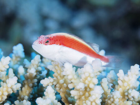 red sea: Coral Blackside hawkfish in red sea Stock Photo