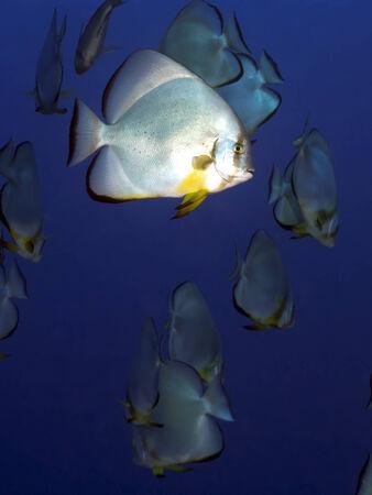 longfin: Longfin spadefish