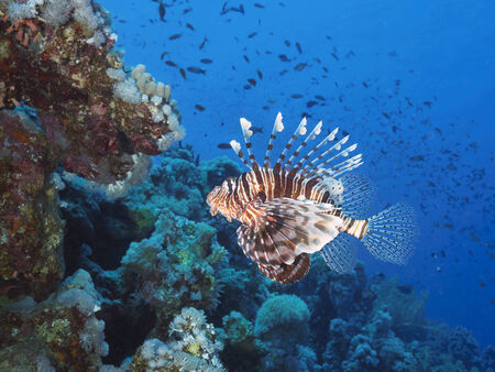 common lionfish: Common lionfish in red sea