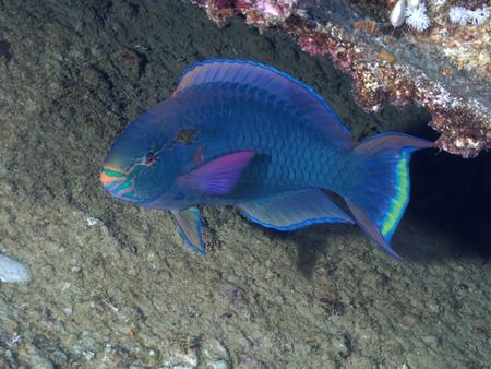dusky: Dusky parrotfish in red sea