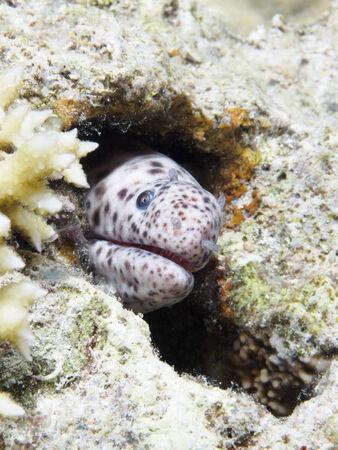 sea snake: Tiger snake moray in red sea Stock Photo