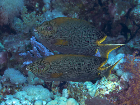 red sea: Coral fish Stellate rabbitfish in red sea