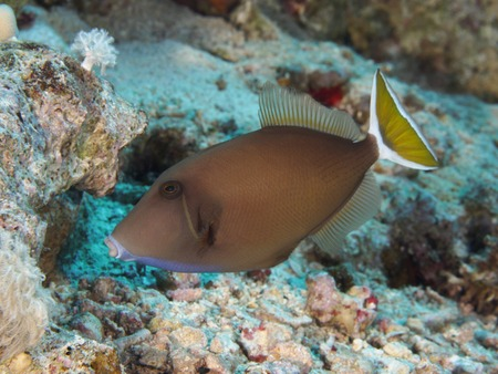 red sea: Bluethroat triggerfish in Red sea