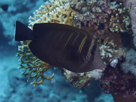 sailfin: Sailfin tang in red sea Stock Photo
