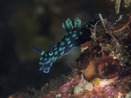 Crested nembrotha in Bali sea, Indonesia Stock Photo