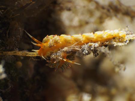 nudibranch: Nudibranch Cuthona sp.  in Bali sea, Indonesia
