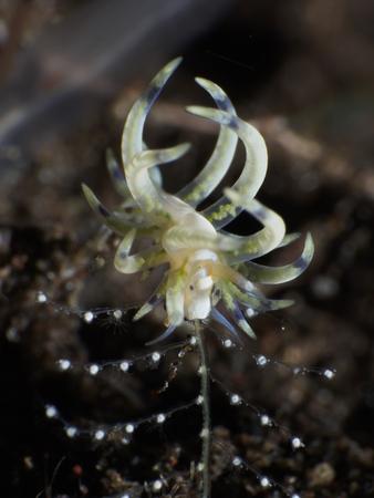 Nudibranch Phyllodesmium sp in Bali sea, Indonesia Stock Photo