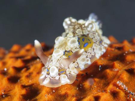 Krusensternii dendrodoris in Bali sea, Indonesia