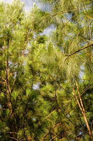 green pine branches with sunlight