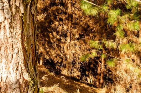 pine forest close-up