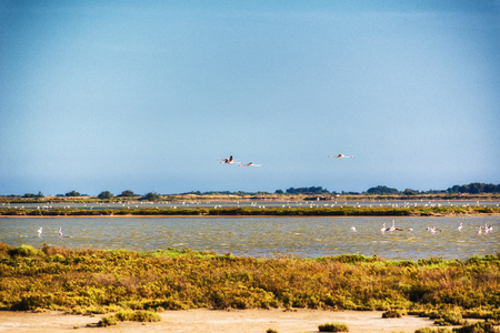 The dry Camargue landscape with flying flamingos (Phoenicopterus roseus)