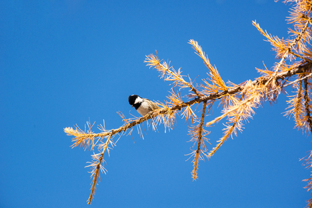 A willow tit (Poecile montanus) on a branch of a larch (Larix sp.)