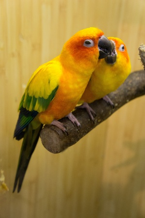 Parrots- lovebirds photo
