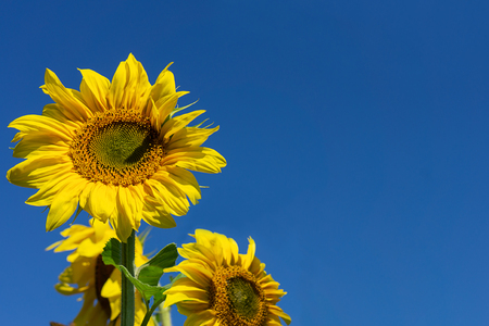 Backdrop with sunflowers against the blue sky