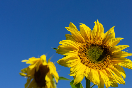 Backdrop with two sunflowers against the blue sky