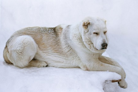 White Central Asian Shepherd Dog Alabai confidently lies on the stone plate against the arctic snow outdoor view Banco de Imagens