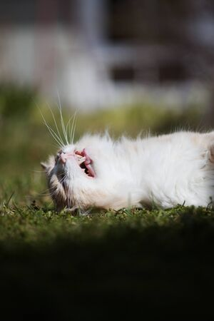 white cat lies on the grass