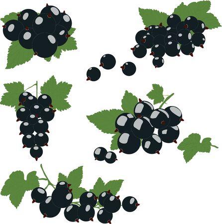cluster: Black currant cluster with green leaves. Vector illustration. Illustration