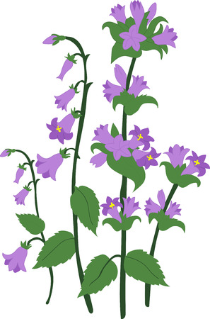 campanula: Branch blue hand Campanula bell on white background, isolated vector Illustration