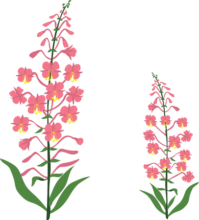 Angustifolium, chamaenerion, Willow tea herb, sally-bloom flower, vector Illustration, isolated on a transparent background  イラスト・ベクター素材