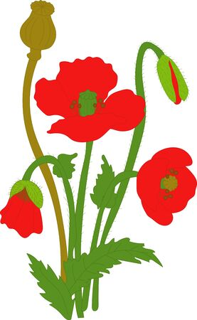 buds: Separate elements flowers red poppy: flowers, leaves, bolls, buds on a transparent background Illustration