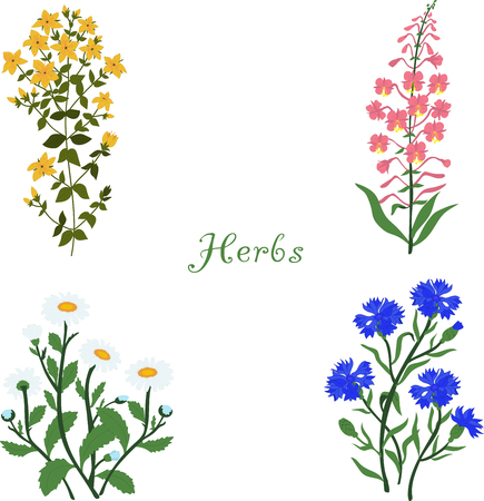 Herbs, Hypericum, Angustifolium, chamomile, cornflowers, vector illustration on a transparent background