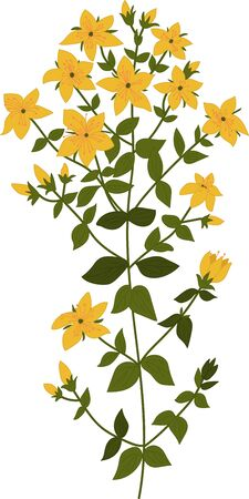 weeds: Illustration of the plant Hypericum, isolated vector on a transparent background
