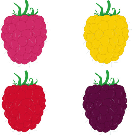 raspberry pink: Collection of ripe raspberries. Vector illustration. Illustration