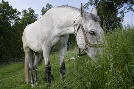 dappled: Gray white dappled horse grazing on a grassy meadow. Stock Photo