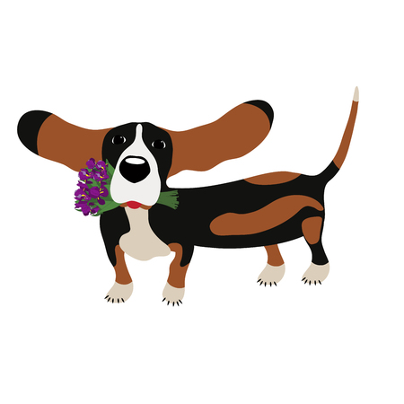 hairy legs: dog Basset Hound with a bouquet of irises isolated on white background