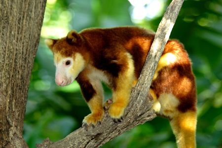 joey: Tree kangaroo sitting on a tree branch, Papua New Guinea