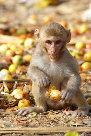 Monkey eating the fruit at the roadside of India