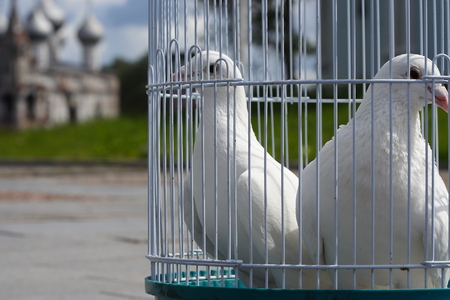 enclose: White doves for a wedding in a birdcage, white bird in a cage