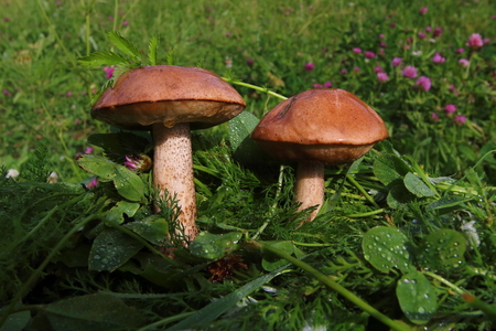 Boletus in the grass in the forest. Search and collection of mushrooms in the forest. Healthy and tasty food.