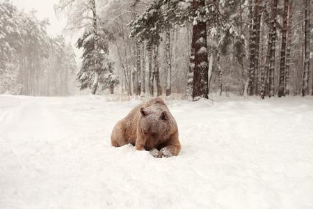 European Brown Bear in a winter forest Фото со стока