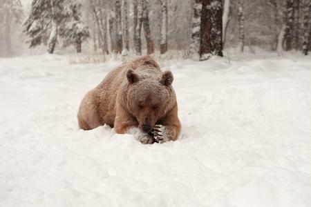 European Brown Bear in a winter forest Standard-Bild