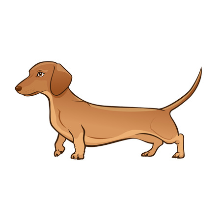 Light Brown Dachshund Dog. Dog vector illustration. Dachshund on white