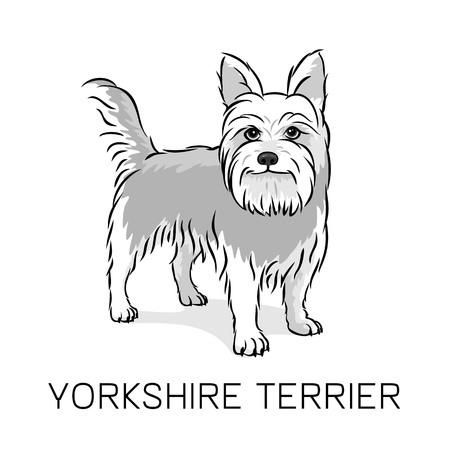 yorkshire terrier: Yorkshire Terrier dog vector illustration Illustration