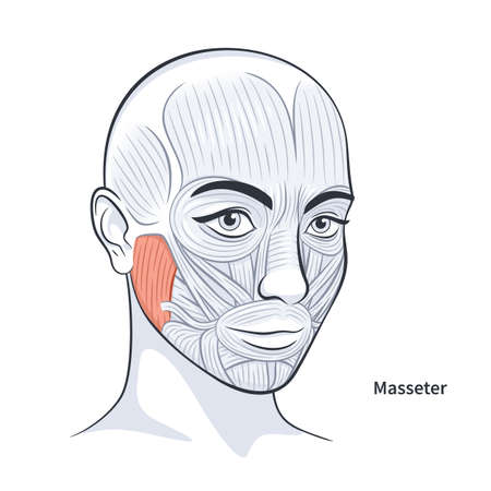 Masseter. Facial muscles of the female. Detailed bright anatomy isolated on a white background vector illustration